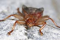 Mauersegler-Lausfliege, Mauerseglerlausfliege, Crataerhina pallida, Oxypterum kirbyanum, swift lousefly, swift louse fly, Lausfliegen, Hippoboscidae, louse flies, louseflies, hippoboscid fly, hippoboscid flies, hippoboscidés