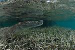 American Crocodile, in mangrove, Crocodylus acutus, Cuba, Underwater, Jardines de la Reina, marine reptiles, Protected Marine park underwater