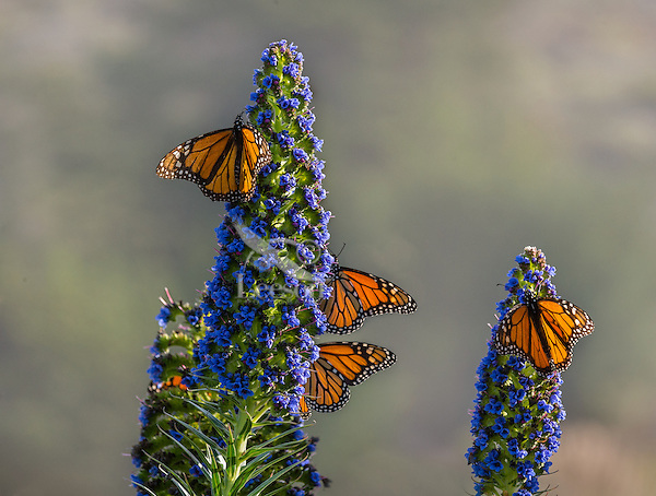 Monarch butterflies (Danaus plexippus) along Big Sur Coastline, CA.  Fall.