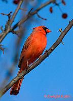 1J06-504z  Northern Cardinal male in winter, Cardinalis cardinalis