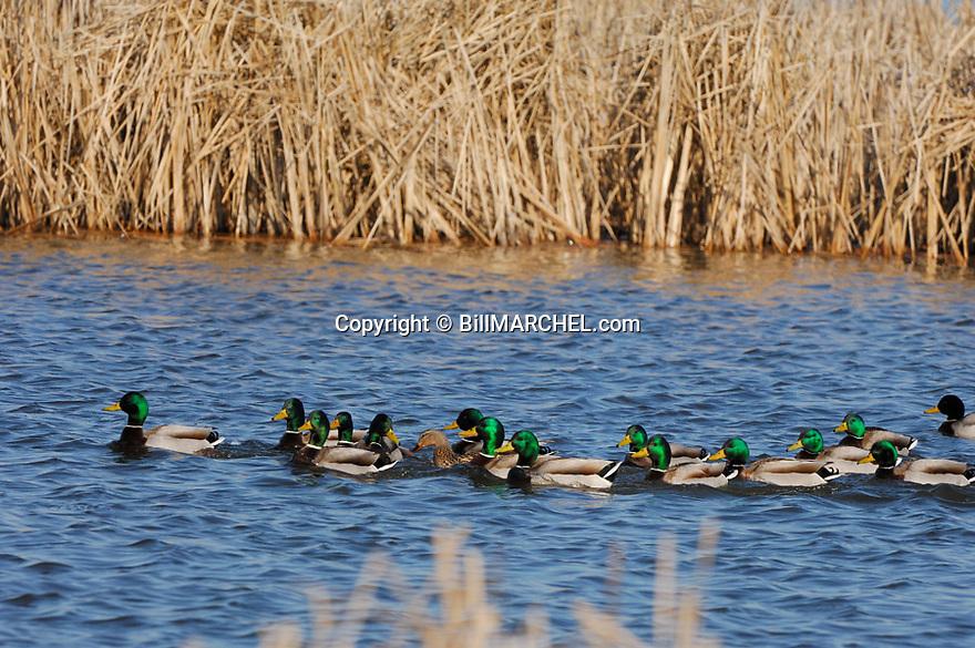00330-067.16 Mallard Duck (DIGITAL) Fifteen drakes vie for the favors of one hen in ideal cattail habitat. Waterfowl, hunt.  H1L1