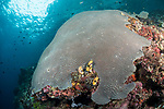 Florida Islands, Solomon Islands; a large dome of encrusting star corals at the top of a reef wall