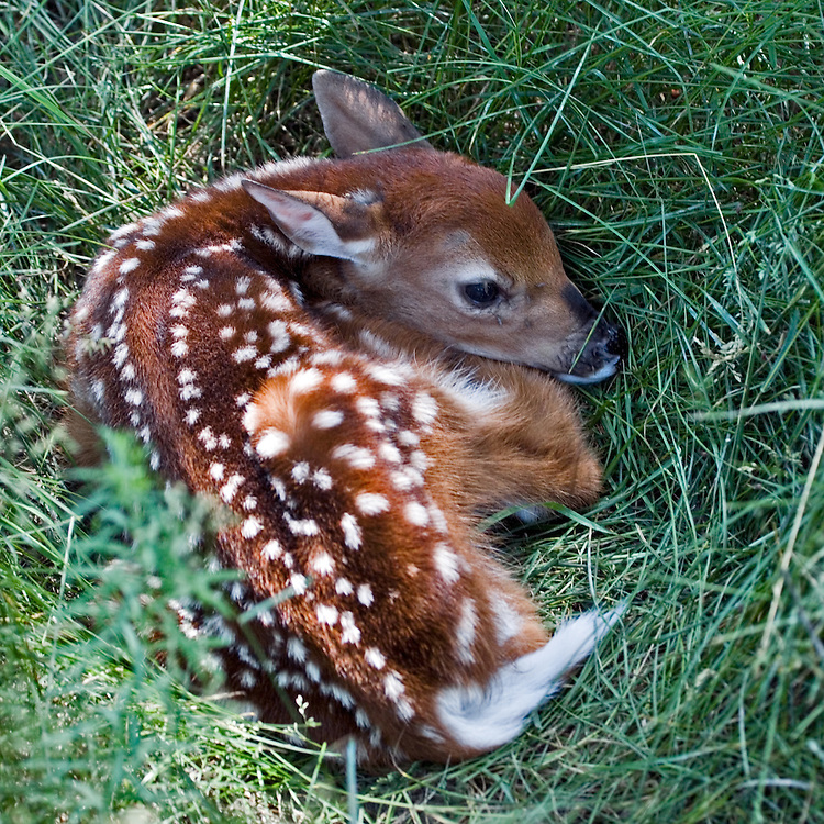 Baby White-tailed Deer fawn lying in the shade