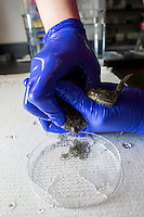 """Senior Research Technician Erin Switzer collects eggs from frogs in the frog room of Dr. Michael Levin's lab at the Tufts Center for Regenerative and Developmental Biology in the Department of Biology at Tufts University in Medford, Massachusetts, USA. Levin's research focuses on the way that animal cells communicate with one another during embryonic development and cell and tissue regeneration. Levin's lab currently uses frogs and freshwater planaria worms for research. Switzer calls the technique for collecting eggs from the frogs """"hugging."""""""