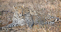 We spent some time with a female leopard and her twin cubs at MalaMala.<br /> <br /> Photo © Jennifer Waugh