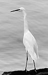 Egret on a rock in B&W, Balboa Island