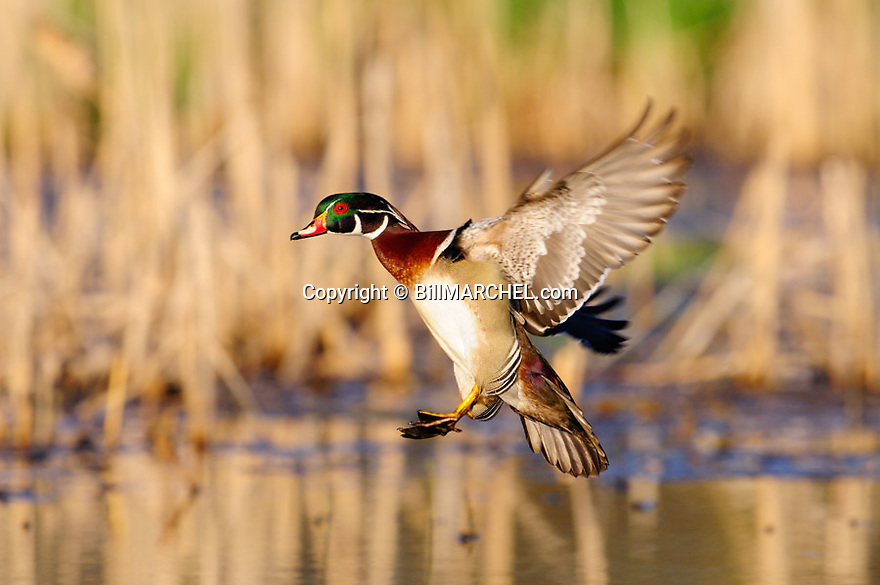 00360-116.06 Wood Duck in flight has feet out as it is about to land in marsh.  Fly, action, hunt, color.