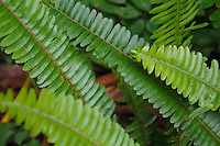 The native Hawaiian kupukupu fern stands under one foot tall and is found on all islands; the non-native species is much larger in size.