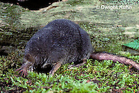 MB01-068z  Star-nosed Mole - adult searching for food - Condylura cristata