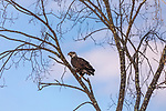 Immature bald eagle perched in a tree in northern Wisconsin.