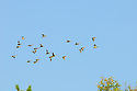 00315-06209  Blue-winged Teal flock of juvenile birds in flight duirng early fall.  Fly, action.