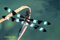 1O05-011a Skimmer Dragonfly - Twelve-spotted Skimmer Male - Libellula pulchella