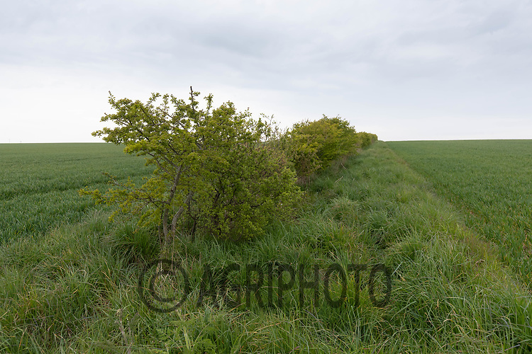 27-4-2021 Hedgerow and field margin between two wheat fields <br /> ©Tim Scrivener Photographer 07850 303986<br />      ....Covering Agriculture In The UK....