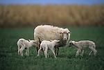 Ewe and lambs, Tuscany, Italy