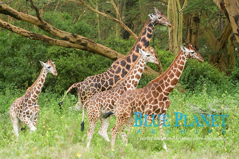 Rothschild's Giraffe (Giraffa camelopardalis rothschildi), adult and immatures, walking in bush, Lake Nakuru National Park, Kenya, Africa