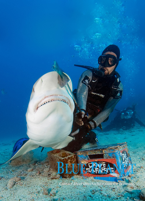 Caribbean reef shark being fed by feeder in chainmail suit, Carcharhinus perezii, St Maarten, Sint Maarten, Netherland Antilles, Caribbean Sea, Atlantic