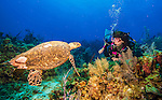 9 July 2013: A Loggerhead Turtle  (Caretta caretta) greets SCUBA diver Sally Herschorn on Lexau's Legacy Reef off the North Shore of Grand Cayman Island. Located in the British West Indies in the  Caribbean, the Cayman Islands are renowned for excellent scuba diving, snorkeling, beaches and banking.  Mandatory Credit: Ed Wolfstein Photo