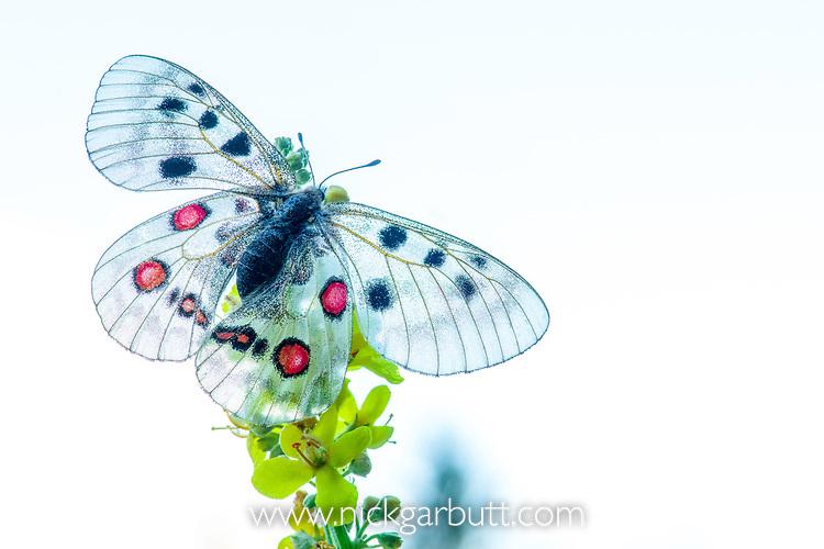 Apollo butterfly (Parnassius apollo) Nordtirol, Austrian Alps, Austria, June. (focus stack)
