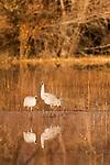 Sandhill Crane (Grus canadensis) pair in pond, Bosque del Apache National Wildlife Refuge, New Mexico