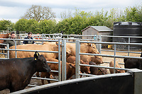 19-5-2021 Moving beef cattle in a Fram yard<br /> ©Tim Scrivener Photographer 07850 303986<br />      ....Covering Agriculture In The UK....