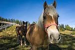 Austria, Tyrol, Biberwier: Horses - close-up | Oesterreich, Tirol, Biberwier: Pferde auf einer Koppel