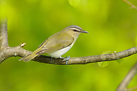 Adult Red-eyed Vireo (Vireo olivaceus). Tompkins County, New York. May.