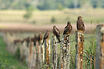 A row of black kites each sitting on a fence post. The black kite (Milvus migrans) is a medium-sized bird of prey in the family Accipitridae, which also includes many other diurnal raptors. It is thought to be the world's most abundant species of Accipitridae, although some populations have experienced dramatic declines or fluctuations.[2] Current global population estimates run up to 6 million individuals.[3] Unlike others of the group, black kites are opportunistic hunters and are more likely to scavenge. They spend a lot of time soaring and gliding in thermals in search of food. Their angled wing and distinctive forked tail make them easy to identify. This kite is widely distributed through the temperate and tropical parts of Eurasia and parts of Australasia and Oceania, with the temperate region populations tending to be migratory. Several subspecies are recognized and formerly had their own English names. The European populations are small, but the South Asian population is very large.
