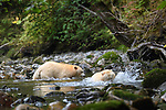 Adult spirit bears or Kermode bears (Ursus americanus kermodei)(pale/white morph of an North American black bear). Trying to catch salmon along Gwaa stream, Gribbell Island, Great Bear Rainforest, British Columbia, Canada. September 2018.