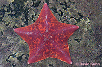 0520-1001  Red Bat Star (Bat Starfish), Asterina miniata  © David Kuhn/Dwight Kuhn Photography