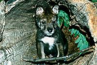 Wolf pup inside log den waiting, MIssouri