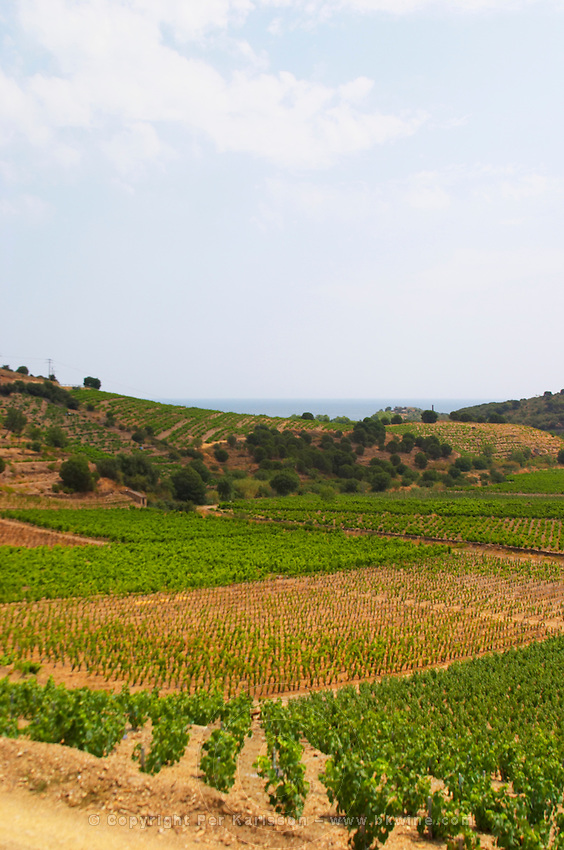 Domaine Coume del Mas. Banyuls-sur-Mer. Roussillon. Vineyards in early summer sunshine with vines in gobelet style. France. Europe. Vineyard.