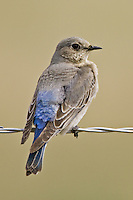 Female Mountain Bluebird perched on a barbed wire fence