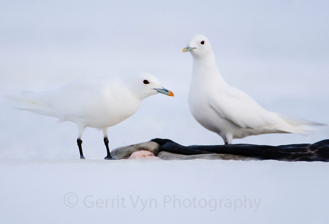 Pair of adult Ivory Gulls (Pagophila eburnea) feeding on a seal carcass. This arctic dependent species appears to be declining rapidly due to climate change. Resolute, Nunavut, Canada. June.