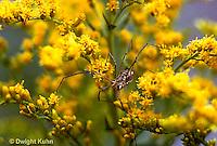 SI09-001z  Daddy Long Leg Spider on goldenrod - Harvestman
