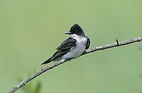 Eastern Kingbird, Tyrannus tyrannus, adult, High Island, Texas, USA, May 2001