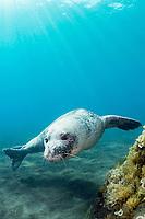 "Mediterranean monk seal, Monachus monachus, endangered species, mature male, Deserta Grande, Ilhas Desertas, Parque Natural da Madeira, Madeira Natural Park, Portugal, Atlantic Ocean (""Novo Esbranquicado"" = ""Mascarilha"" est. age 8, first seen 2007)"
