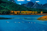 749450485 canoers on a fall morning spook a small flock of canadian geese grus canadensis at the oxbow bend of the snake river in grand tetons national park wyoming