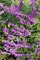 Salvia leucantha in autumn flower, Mexican bush sage plant