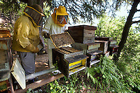 Switzerland. Canton Ticino. Castello di Vico Morcote. Alberto Bianchi ( dressed in white) is a beekeeper and an organic farmer (with the label Bio Suisse). He stands in the woods (Robinia pseudoacacia) with his assistant Joao from Portugal. Both are checking the honeycombs in the hives, the health of the bees and the quantity of honey. Beekeeping (or apiculture) is the maintenance of honey bee colonies, commonly in hives, by humans. A beekeeper (or apiarist) keeps bees in order to collect honey and other products of the hive (including beeswax, propolis, pollen, and royal jelly). Robinia pseudoacacia, commonly known as the Black Locust, is a tree in the subfamily Faboideae of the pea family Fabaceae. A less frequently used common name is False Acacia, which is a literal translation of the specific epithet. 30.05.12 © 2012 Didier Ruef