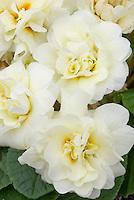 Primula 'Belarina Cream', double flowered white cream colored primrose