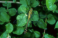 Gemeine Keiljungfer, Gomphus vulgatissimus, club-tailed dragonfly, Common Clubtail, Common Club-tail, Gomphidae, Flussjungfern, Flußjungfern