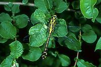 Gemeine Keiljungfer, Gomphus vulgatissimus, club-tailed dragonfly, Common Clubtail, Common Club-tail, Gomphidae, Flussjungfern, Flußjungfern