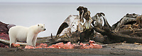 Polar bear feeds on Bowhead Whale carcass discarded on the beach of Barter Island, in the Inupiat village of Kaktovik, located in the Beaufort Sea on Alaska's arctic coast.