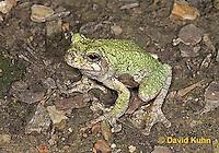 "0917-07uu  Gray Tree Frog - Hyla versicolor ""Virginia"" © David Kuhn/Dwight Kuhn Photography"