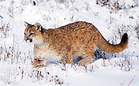 Young mountain lion (Felis concolor) exploring mountain meadow in fresh snow
