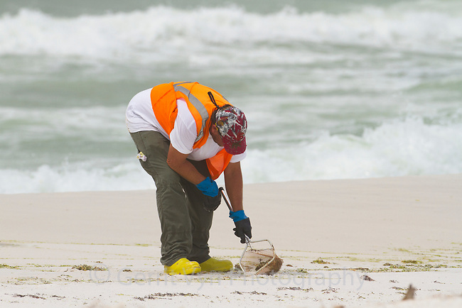 A Gulf oil spill reponse worker picking up tar balls on the beach with a net. Gulf Islands National Seashore, Florida. June 2010.