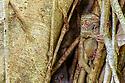 Adult spectral tarsier (Tarsius spectrum), (sometimes Tarsius tarsier) (in recent taxonomic revision, Gursky's spectral tarsier (Tarsius spectrumgurskyae)) in day-time roost tree (Ficus sp.). Tangkoko National Park, Sulawesi, Indonesia.