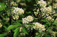 Gewöhnliche Traubenkirsche, Frühe Traubenkirsche, Trauben-Kirsche, Prunus padus, European Bird Cherry