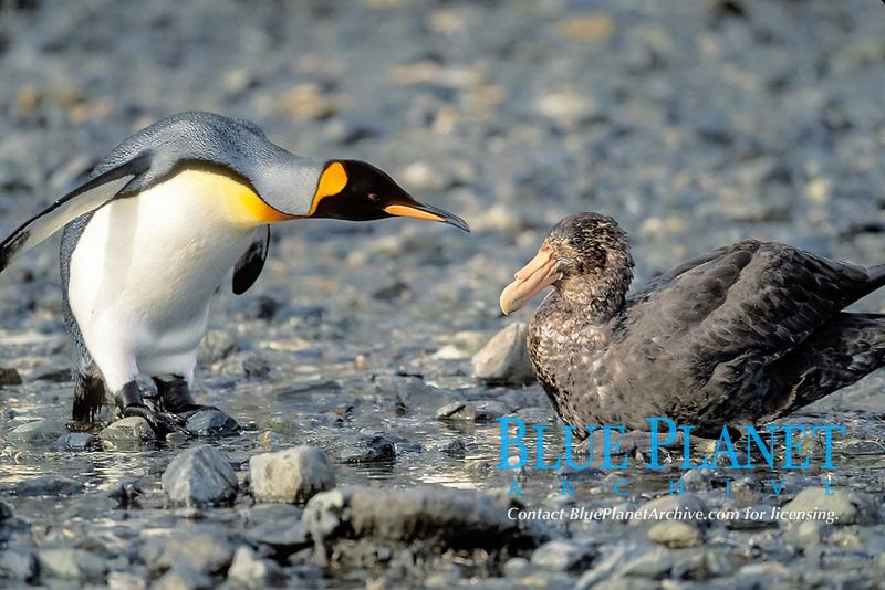 king penguin, Aptenodytes patagonicus, and sea bird, South Georgia Island, south Sandwich Islands, United Kingdom, British Overseas Territories, South Atlantic