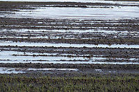 31-1-2021 Waterlogged Winter wheat field in Lincolnshire <br /> ©Tim Scrivener Photographer 07850 303986<br />      ....Covering Agriculture In The UK....
